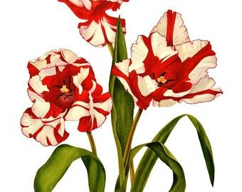 Parrot Tulip Estella Rijnveld, ORIGINAL watercolor painting, botanical art, botanical painting, tulip flower, white, red,  esperoart