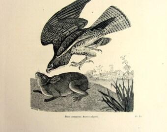1860 Vintage common krestel hunting a rabbit engraving, original krestel engraving, bird of prey plate illustration, zoology eagle engraving