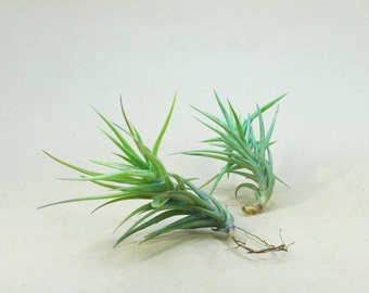 Tillandsia Cocoensis Air Plant // Hello Tilly Airplant