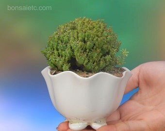 Spineless and Lovely Baby Bonsai (Yellow Flowers)