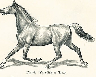 Horse anatomy print horse head shapes horse back anomalies horse paces horse gait : Antique engraving old book plate gift 4 vet horse lover