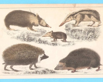Antique animal (hedgehog and tenrec) illustration