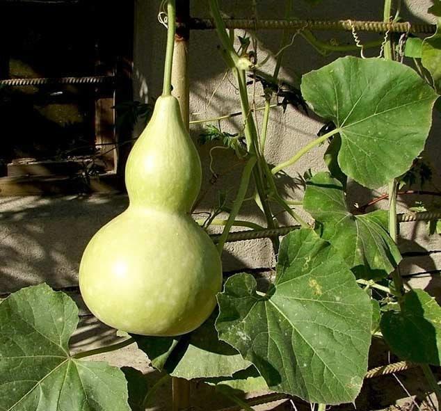 Cucurbita Pepo 13 SEEDS Bottle Gourd Squash Birdhouse