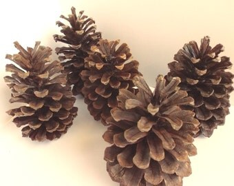 Pinecones- Pack of 5