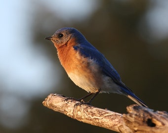 Eastern Bluebird, songbird, bird, nature, photo, print, photography, wall art, home decor