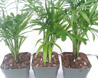 Three Victorian Parlor Palm Chamaedorea 2.5 Pot (FREE SHIPPING!)