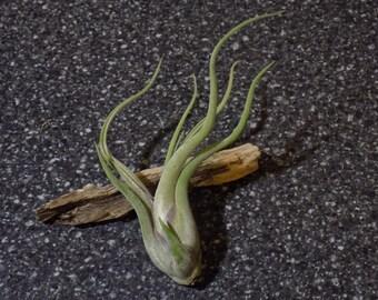 Tillandsia Caput Medusae - (Medium) Tropical Air Plant  Ephiphyte from Jordan's Jungle