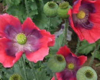 100 POPPY HENS & CHICKS Papaver Somniferum Flower Seeds