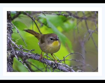 "Common Yellowthroat Warbler ""Female"""