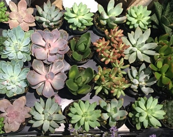 Multi Pack Assorted Succulent Plant