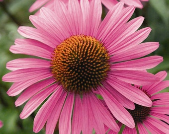 250 Purple Coneflower seeds. Chemical free.