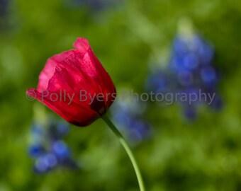 Poppy & Bluebonnets