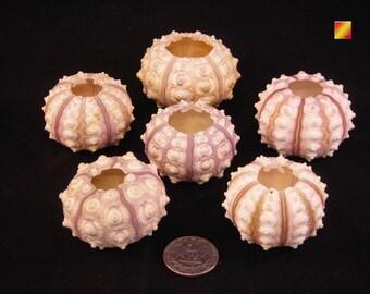 "Six (6) Small Sputnik Sea Urchins 1"" - 1 1/2"" Beautiful Beach Crafts and Nautical Decor Airplants"