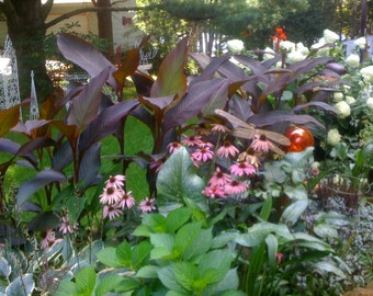 Canna (Lily) bulbs  *SALE*