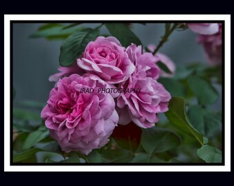 TOO ROSY, rose,pink,flower,english,old fashion,fragrant,nature,green,leaves,plant,print,decor,