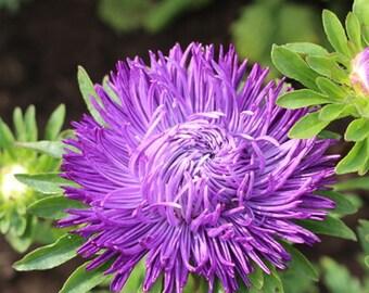 Aprox. 225 - 250 seeds Asters Krallen Karthauser 0,5 g fresh seeds best before 2019