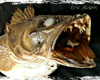 Vintage Zombie Fish Taxidermy
