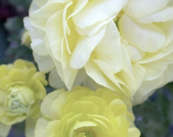 Floral Photograph, Yellow Ranunculus Fine Art Photography Print
