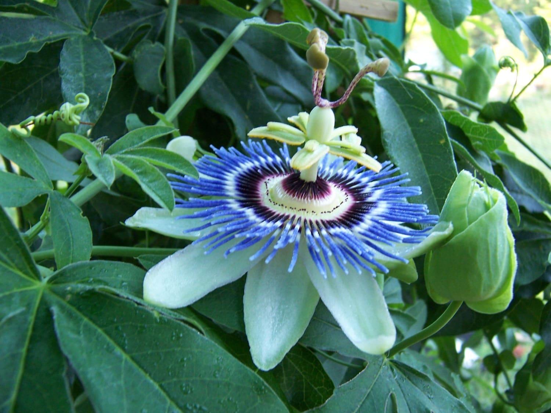 blue crown passion flower passiflora caerulea. Black Bedroom Furniture Sets. Home Design Ideas
