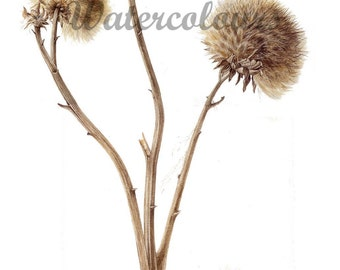 Limited Edition Giclee Print from original watercolour - Cardoon seed heads botanical