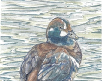 Duck art watercolour painting and coloured pencil originalpainting, Harlequin Duck River Don, wildlife art