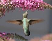 Hummingbird photography, digital download, 8 x 8, 27 x 27,background, nursery art, printable, fine art photography