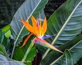 "Nature, ""Bird of Paradise Flower"", Flower Photography, Nature Photography, Flower, Wall Art, Wall Decor, Fine Art Photography"