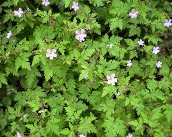 2 Wildflower Organic Herb Robert Plants,Geranium Robertianun,English cottage garden plants