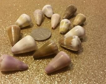 Pretty sea tumbled Hawaiian cone shells