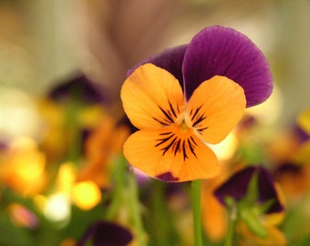 Orange and Purple Pansy Photograph #155
