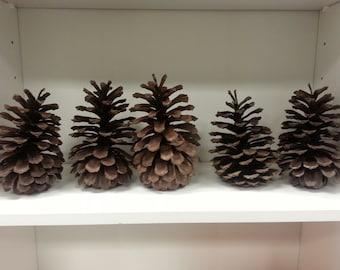 Large Georgia Pine Cones