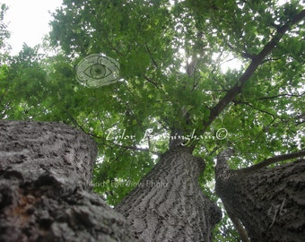 Oak Tree in Summer Nature Seasons Underneath Tree Photography Print