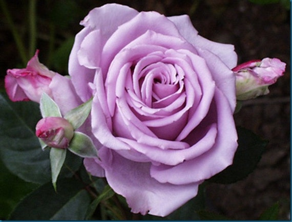 purple rose hybrid rare rose seeds fresh exotic lavender, Beautiful flower
