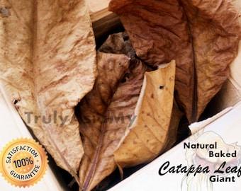 500 grams Grade A Plus Giant Indian Almond Catappa Ketapang Leaves aquarium