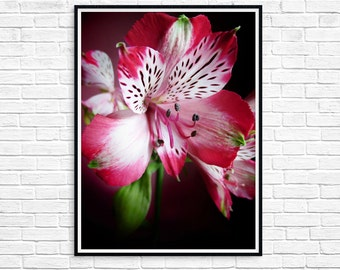 White-red Lily, Floral Photos, Lilies Color Photography, Flower Close-up Photography, Spring Flowers, Nature Photography - Instant Download