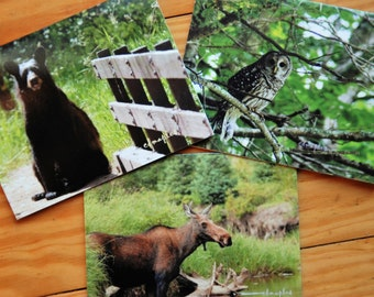 Note Card, Photo, Photography,  Greeting Card, Wildlife, Forest, Bear, Moose, Owl, Barred Owl, Blank Folded Card