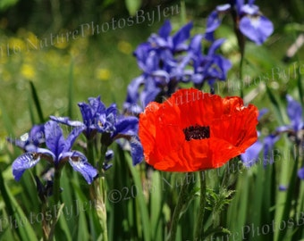 Nature photography, Digital download, poppy and irises
