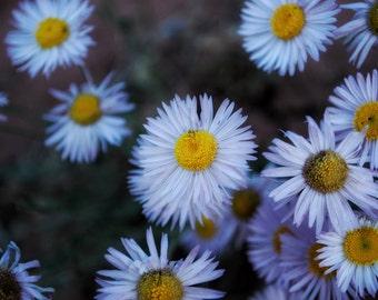 Zion National Park | Kolob Canyon | Desert Daisies | Flowers | Nature Photography | Landscape | Southern Utah