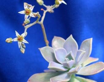 Ghost Plant (Graptopetalum paraguayense) Succulent in a 14cm 1.5Litre Half Pot.