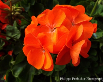 Photograph, orange flower, nature photography