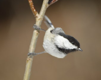 Photograph of a black-capped chickadee in a funny position