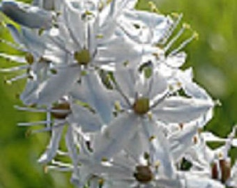 30+ Pure White Hyacinth / Camassia Scilloies / Hardy Perennial Flower Seeds
