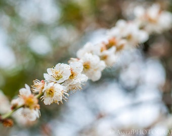 Floral Wall Art, Spring Photography, Plum Blossoms, Large Canvas Print, Flower Photography, Bokeh Flower Photo, Home Decoration, 30x45