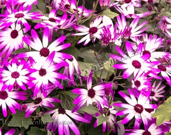 Cineraria, purple and white striped flower, garden flowers, annual plants