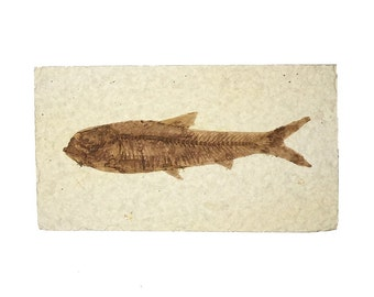 Genuine Fish Fossil from the Green River Formation in Wyoming - Top Quality in a Gift Box!