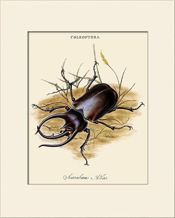 Giant Beetle, Scarabaeus Atlas, Edward Donovan, Art Print with Mat, Natural History Illustration, Wall Art, Wall Decor, Vintage Insect Print