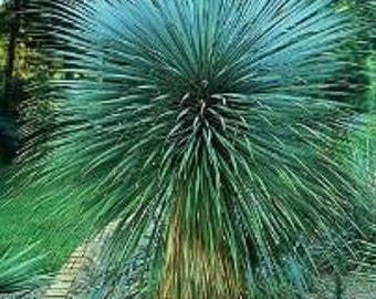 Yucca Rostrata 5 Seeds