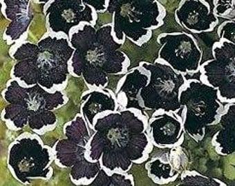 Nemophila Pennie Black Fresh 30 Seeds