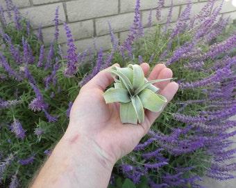 tillandsia streptophylla airplant