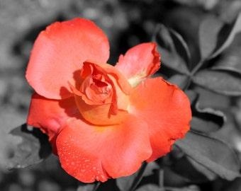 Rose, Original Photography Canvas Print